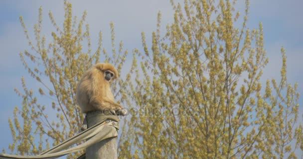 Tenká žlutá opice sedí na kládě