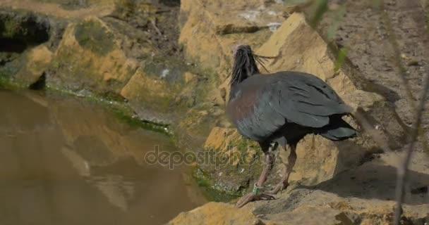 Plešatý Ibis stojí na kamennému břehu bažiny nápojů rozmělnit naklání dlouho zakřivené zobák dolů kriticky ohrožený ptačí biologie studuje v Zoo slunečný jarní den