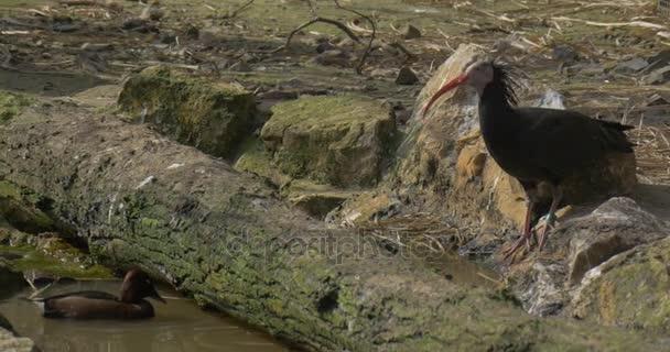 Černý plešatý Ibis pije vodu na břehu bažiny Mallard vystoupí z vody a Walking Away podél divoké kachny Ibis ornitologie slunečný den Zoo studovat