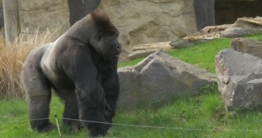 Gorilla Stands Near a Placer of a Big Grey Stones
