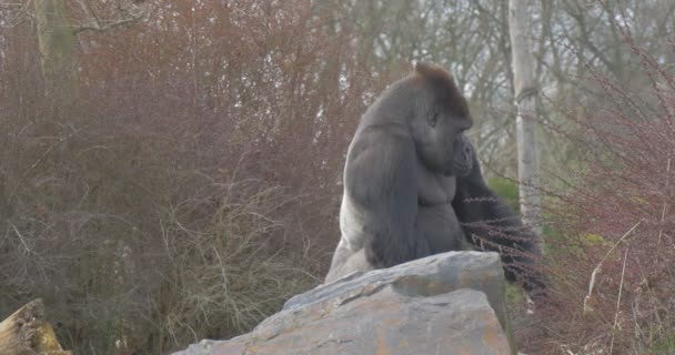 Thick Shaggy Gorilla Climbed on Top of a Hill