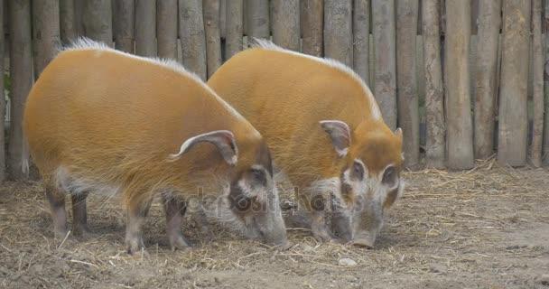 Tipp für dicke Schweine Unterschied zwischen schwarzer und weißer Muschi