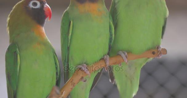 Tři malé papoušky sedí na větvi