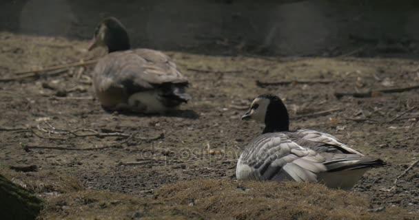 Zwei wilde Enten haben eine Erholung nach einem langen Flug