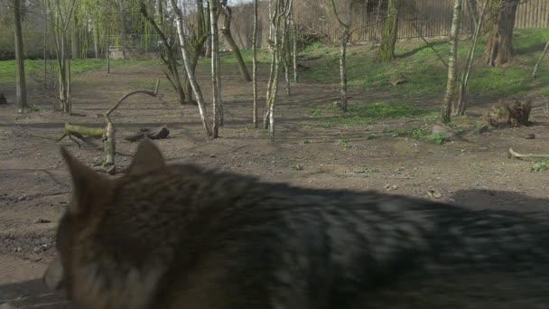 Wolfs Head és szőr-ra vissza az állatkerti séta a rét Wildlife Sanctuary Wolf Predator halad a kamera a tavaszi Forest Lawn napsütésben a nap