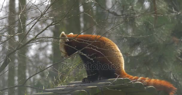 Cute Red Panda is Sitting on Wooden Log Chewing Eating Leaves Animal in Zoo in Spring Sunny Day Forest Nature Bare Branches of Trees Endangered Animal