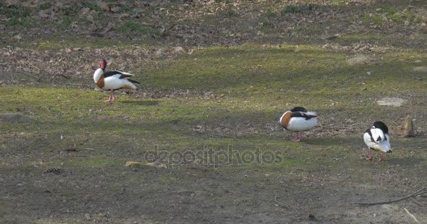 Kachny divoké Preening peří na zelený trávník divoké kachny v okolí rybníku zelená bílá barevný skvrnitý ptáci v Zoo výlet do voliéry jarní slunečný den