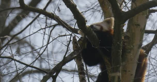 Cute Red Panda is Sleeping on Tree Branches Brownish Fur White Ears and Its Eyes Closed Animal in Zoo in Spring Sunny Day Forest Environmental Protection
