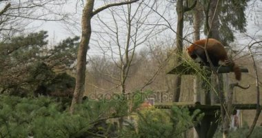 Firefox Stands on a Top of Feeder Eats Leaves Holding Branch by Its Paw Endangered Captive Animal With Reddish-Brown Fur in Forest Environmental Protection