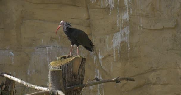 Jeden plešatý Ibis s červeným zobákem skalní stanoviště slunné jarní den pták stojí na dřevěných razítek pozorování chování ptačí ornitologie studium