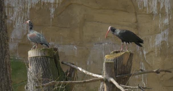 Dva plešatí ibisové stojí na dřevěných razítek slunečný jarní den pták v pozorování skalní stanoviště ptačí chování ornitologie studuje v národním parku