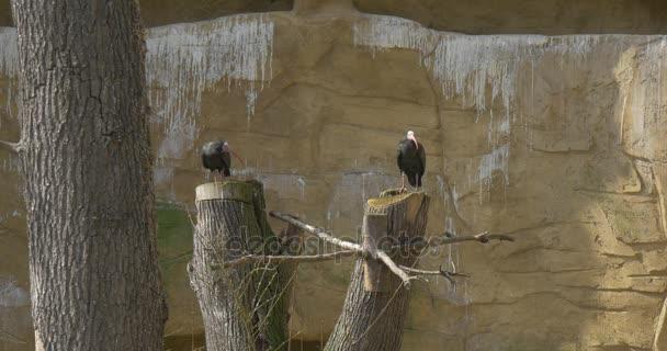 Plešatý ibisové sedí na dřevěných razítek mezi skal kamenité místo slunný jarní den pták v skalní stanoviště kriticky ohrožený pták ornitologie studuje v Zoo