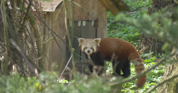 Lesser Panda Enters Its House in Forest Zoo National Park Endangered Animal is Captive Firefox With Brownish Fur Spring Sunny Day Environmental Protection