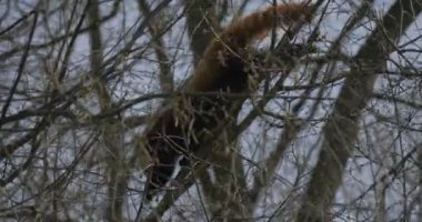 Firefox is Searching For Food Among Tree Branches Endangered Captive Animal in Spring Sunny Day in Forest Blue Sky Nature Animals Behavior Studying
