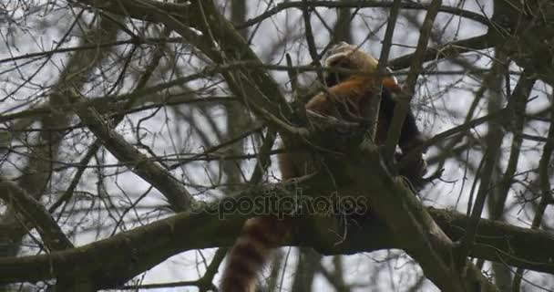Lesser Panda is Climbing up Bare Tree Branches Dexterous Animal With Long Striped Tail Endangered Captive Animal in Dusk in Forest Environmental Protection