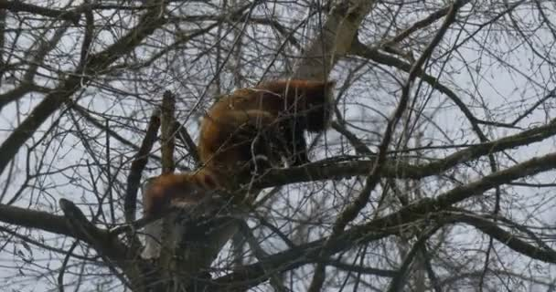 Red Panda Getting Down From Tree Licking Its Fur Searching For Food on Tree Branches Endangered Animal in Zoo of Forest Environmental Protection Zoology