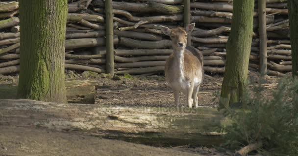 Mládě jelena v paddocku Log plot zvíře mezi stromy Fawn je pastvě v slunečný jarní den chůze u Zoo ekologické ochrany Tour výlet do Opole Zoo