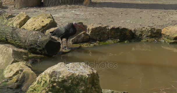 Plešatý ibisové přijde na jezero pít vodu kamennému břehu slunečný jarní den pták v přírodních stanovišť v Zoo kriticky ohrožené v zajetí pták, ornitologie studium