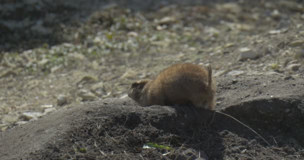 Gopher is Burrowing Down and Hiding in the Earth European Ground Squirrel European Souslik Spermophilus Suslicus Squirrel Moves His Short Bushy Tail