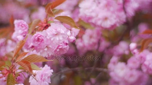 Krásné růžové květy na větvích mladých stromů