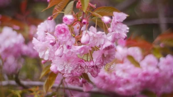 a Beginning of a Japanese Cherry Blossom Season
