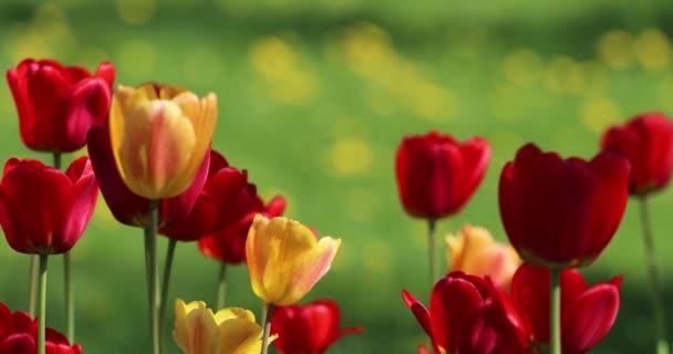 Piros és sárga virágok tulipán közelkép háttér zöld fű