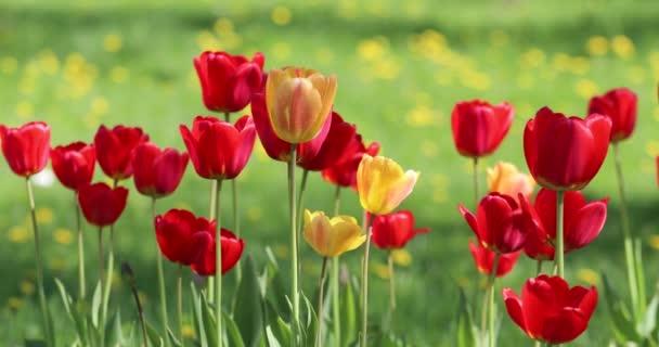 Červené a žluté květy tulipány zblízka na pozadí zelené trávy
