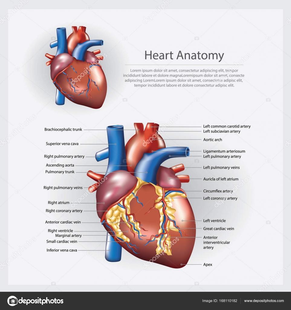 Fantastisch Detaillierte Herzanatomie Zeitgenössisch - Menschliche ...