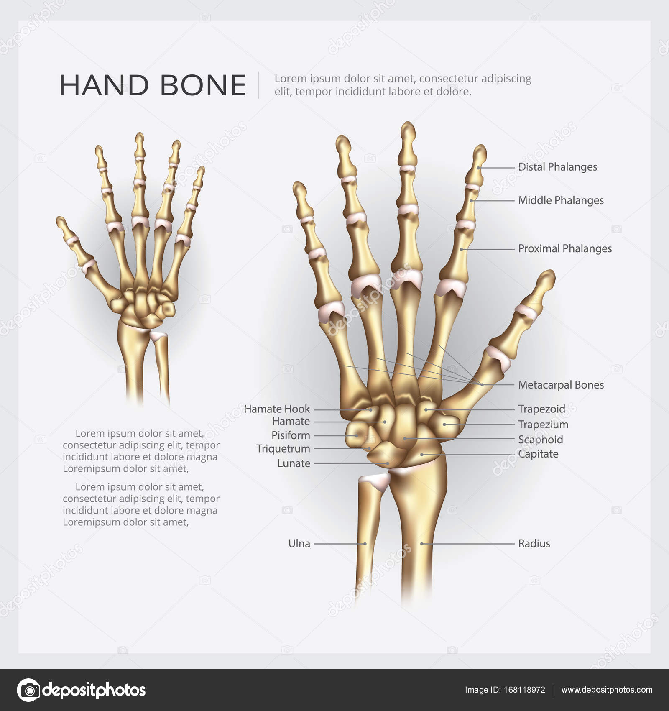 Hand-Knochen-Vektor-Illustration — Stockvektor © pongpongching.gmail ...