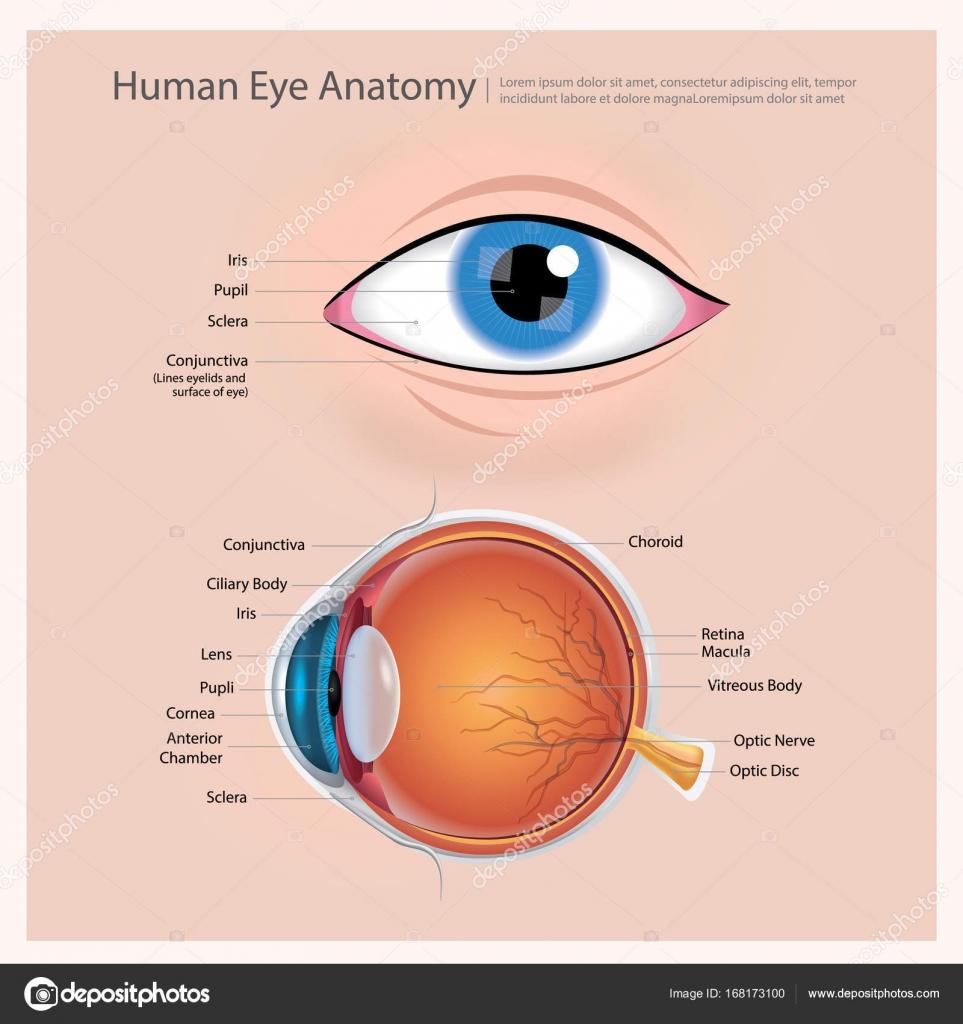 Menschliche Auge-Anatomie-Vektor-Illustration — Stockvektor ...