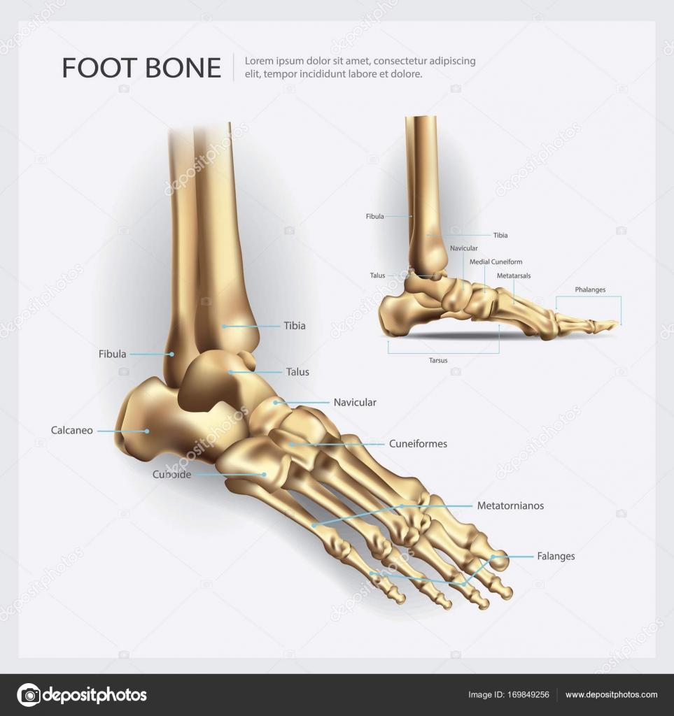 Ilustración de Vector de pie hueso anatomía — Vector de stock ...