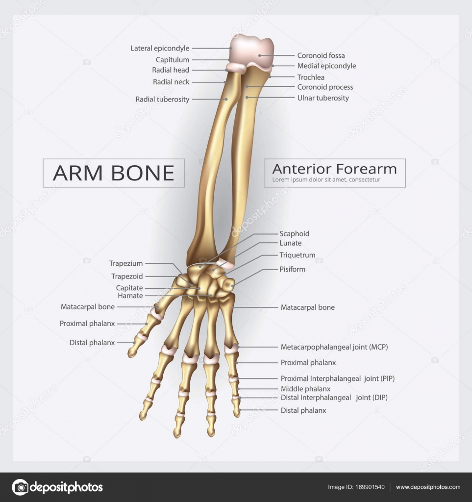 Arm und Hand-Knochen-Vektor-Illustration — Stockvektor ...