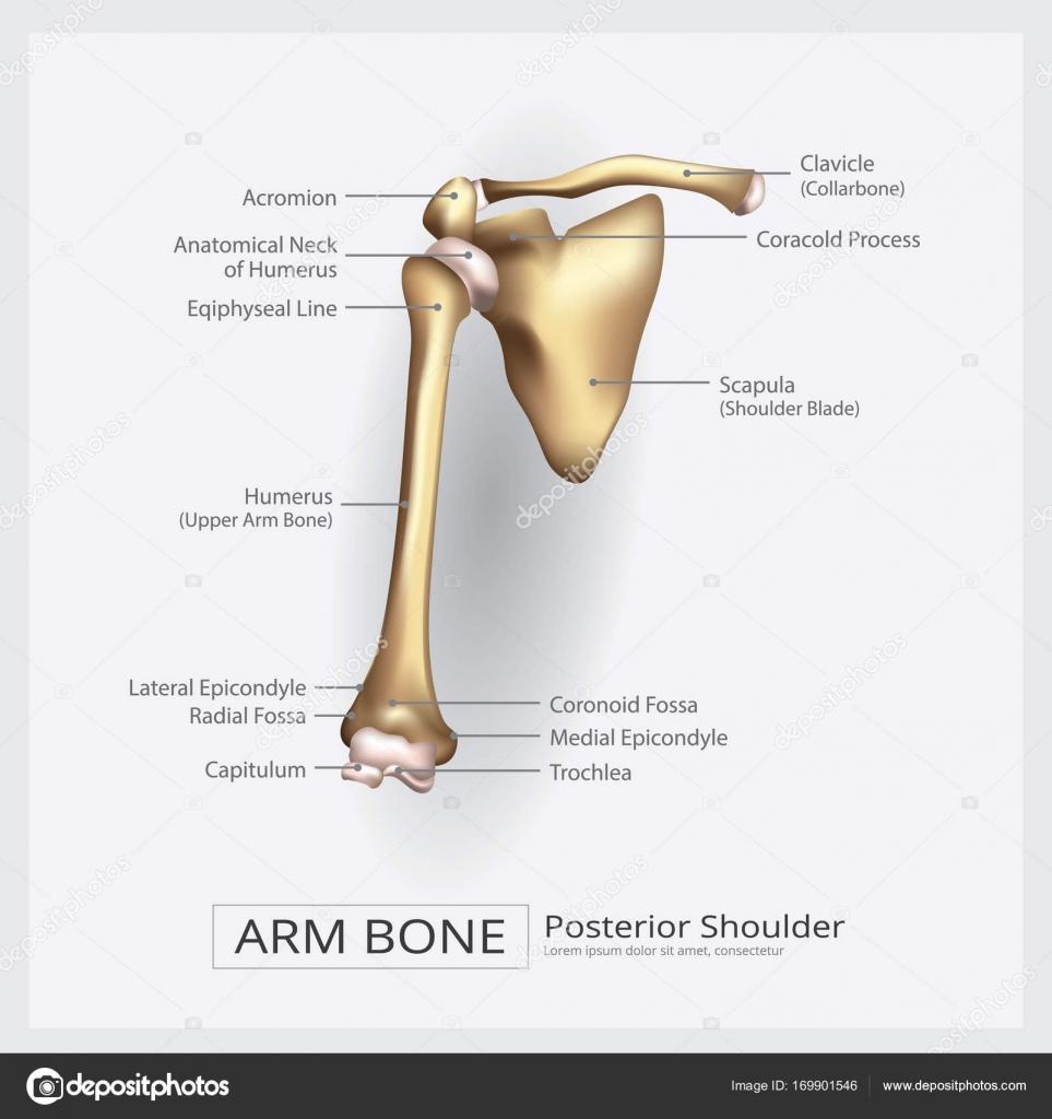 Schulter-Arm-Knochen-Vektor-Illustration — Stockvektor ...