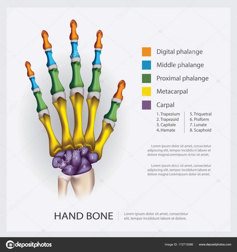Anatomie des Menschen Hand Knochen Vektor-Illustration — Stockvektor ...
