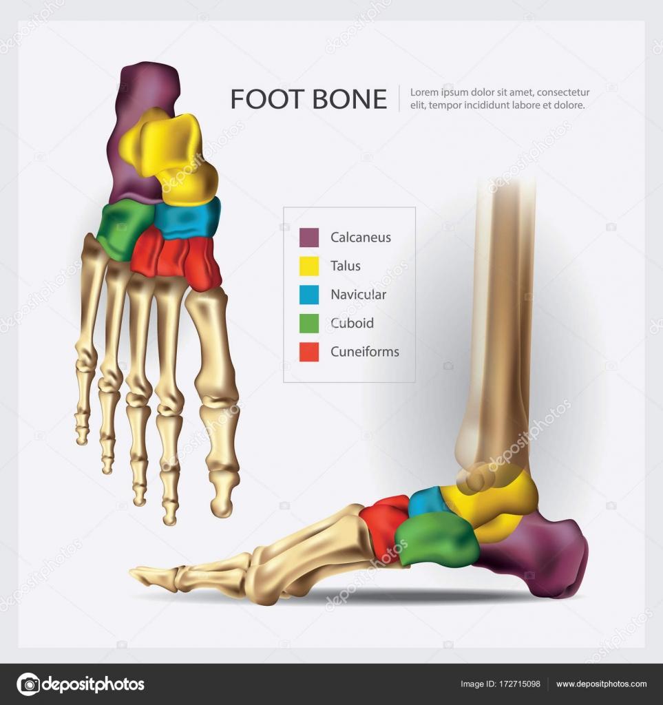 Human Anatomy Foot Bone Vector Illustration — Stock Vector ...