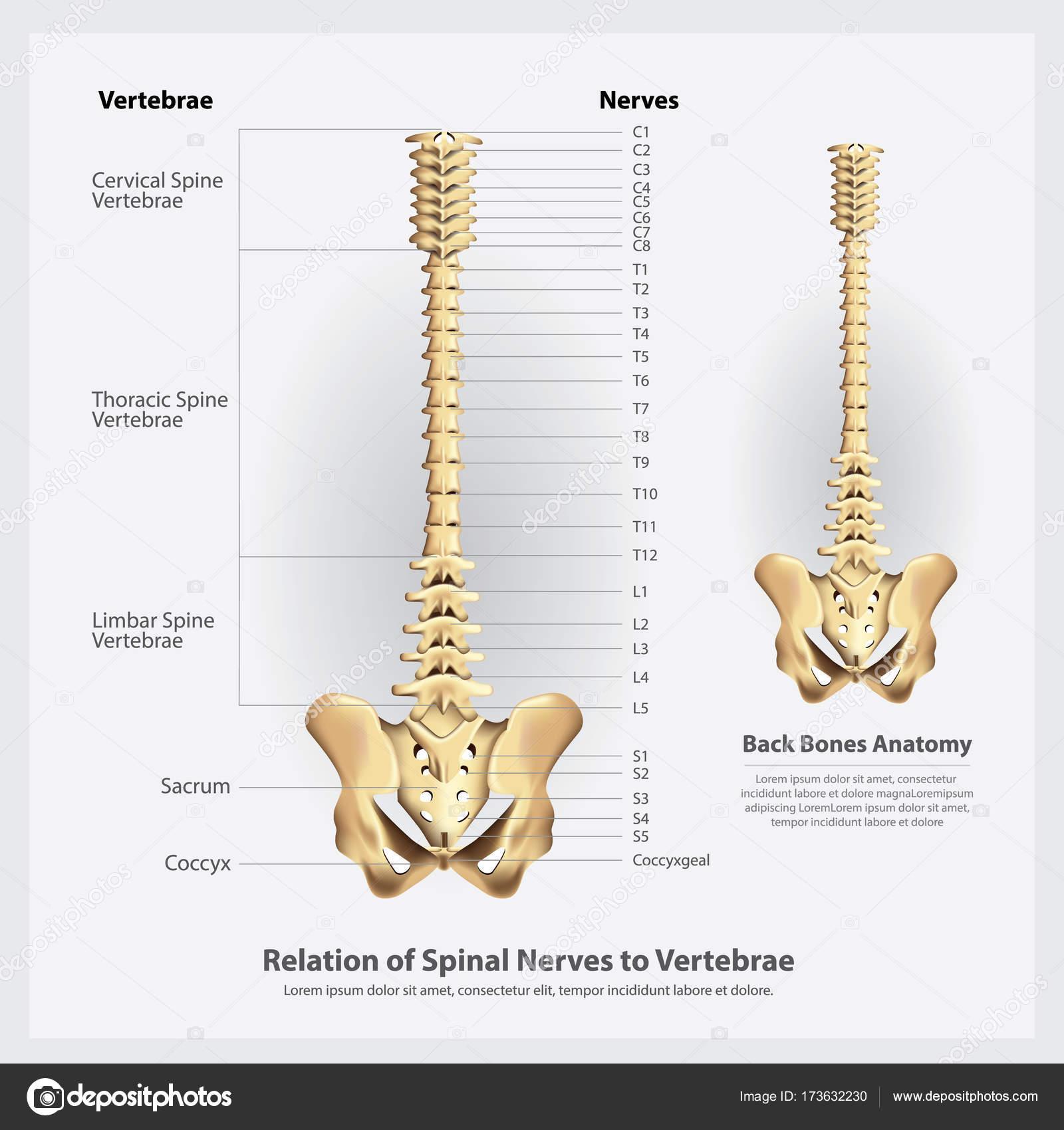 Spinalnerven und Wirbel Segmente und Wurzeln-Vektor-Illustration ...
