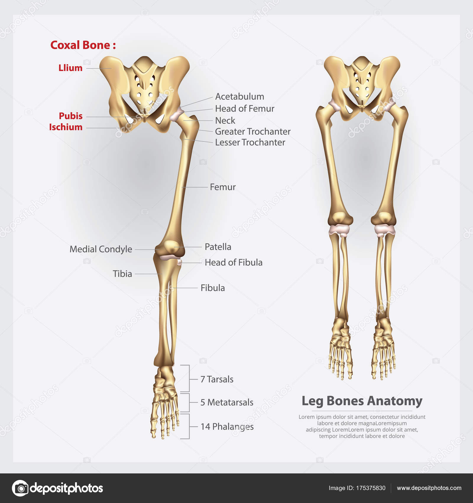 Menschliche Anatomie Bein Knochen Vektor Illustration — Stockvektor ...