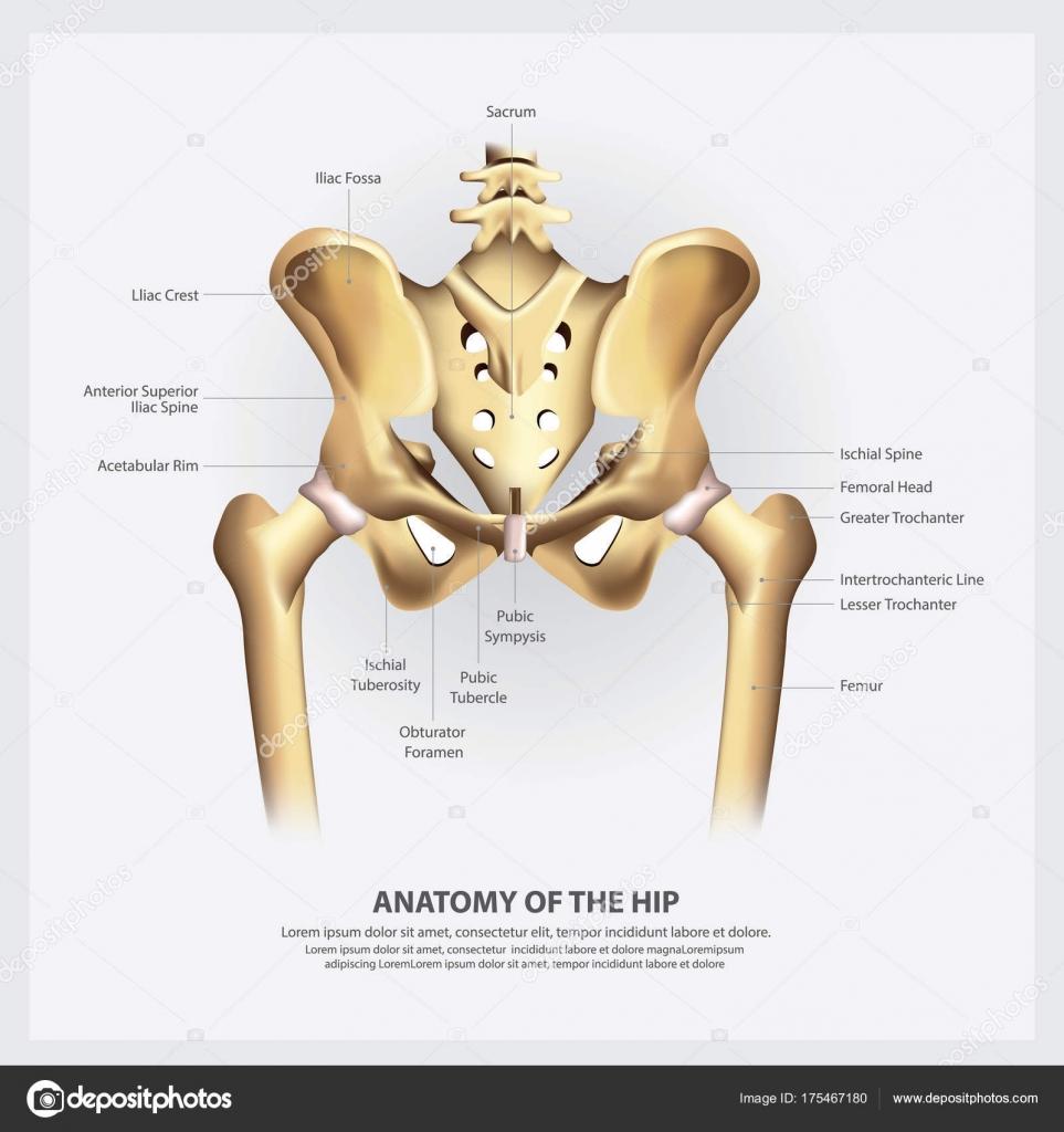 Anatomía Humana Ilustración Vector Cadera — Vector de stock ...