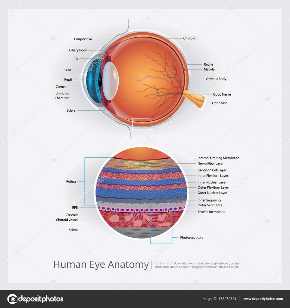 Menschliche Auge Anatomie Vektor Illustration — Stockvektor ...