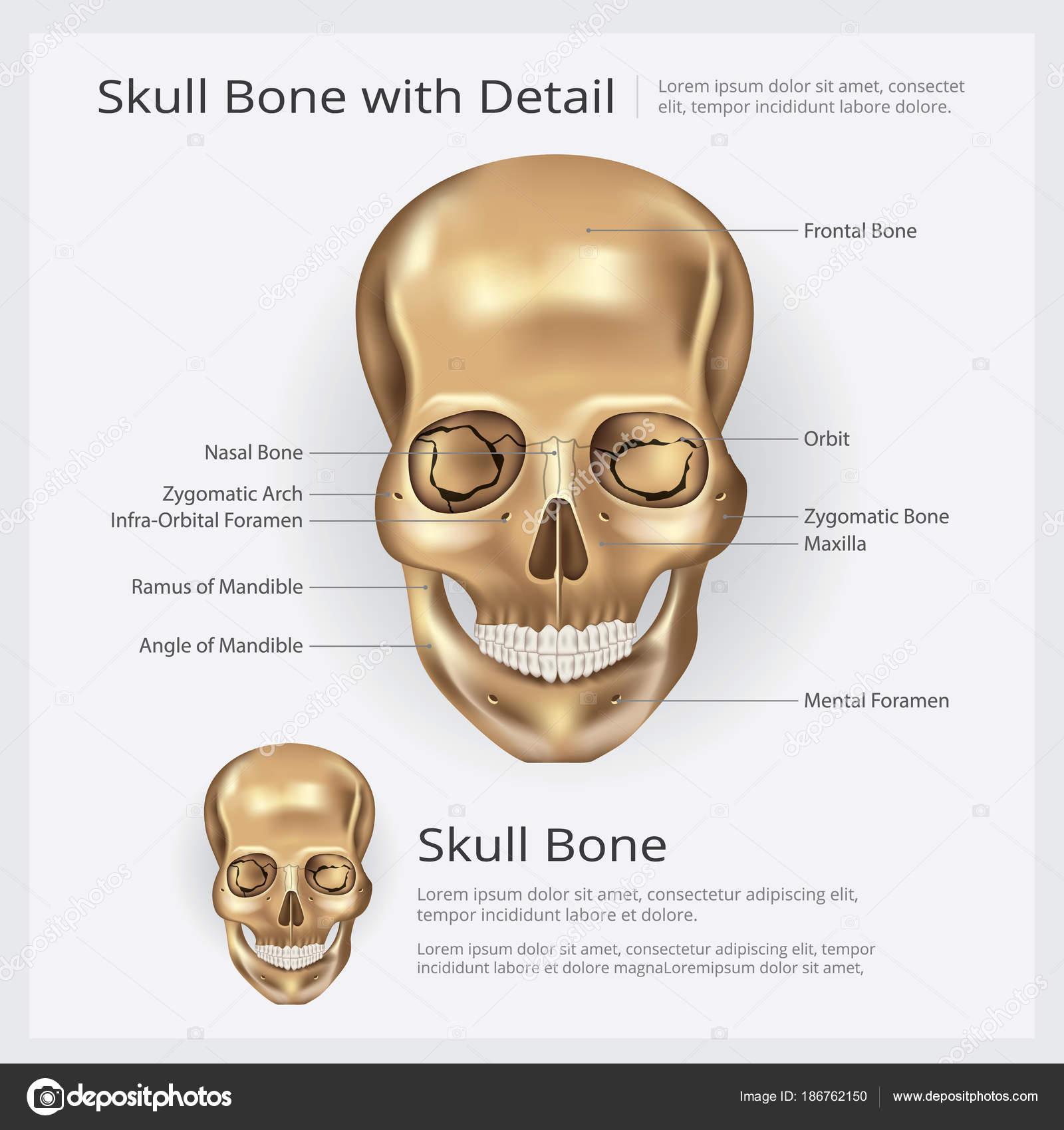 Ilustración Vector Anatomía Ósea Del Cráneo Humano — Archivo ...