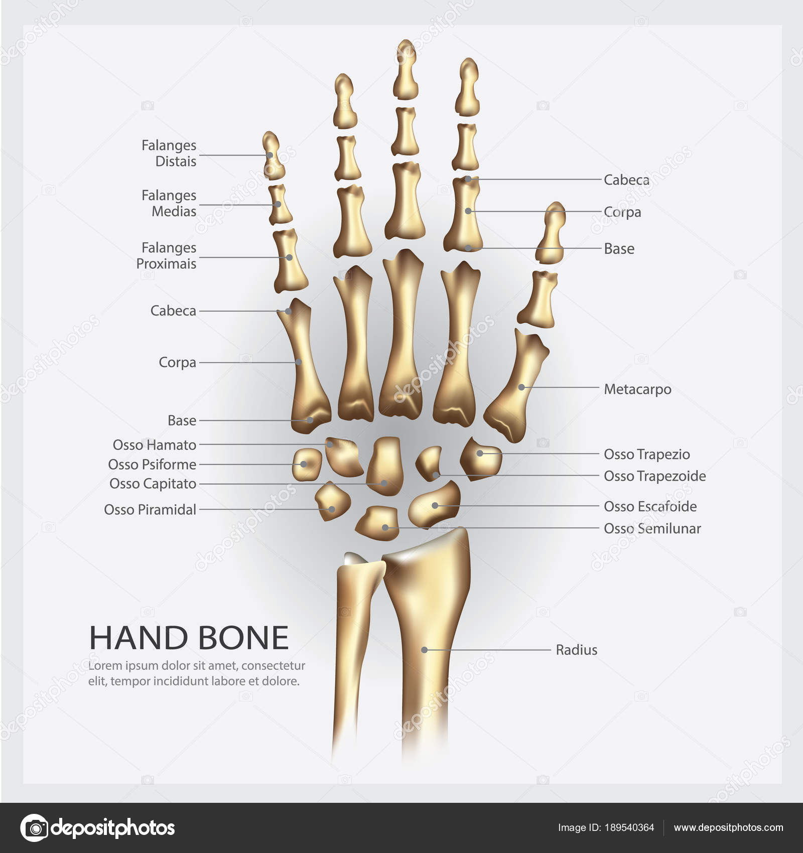 Hand Bone Anatomy Detail Vector Illustration — Stock Vector ...