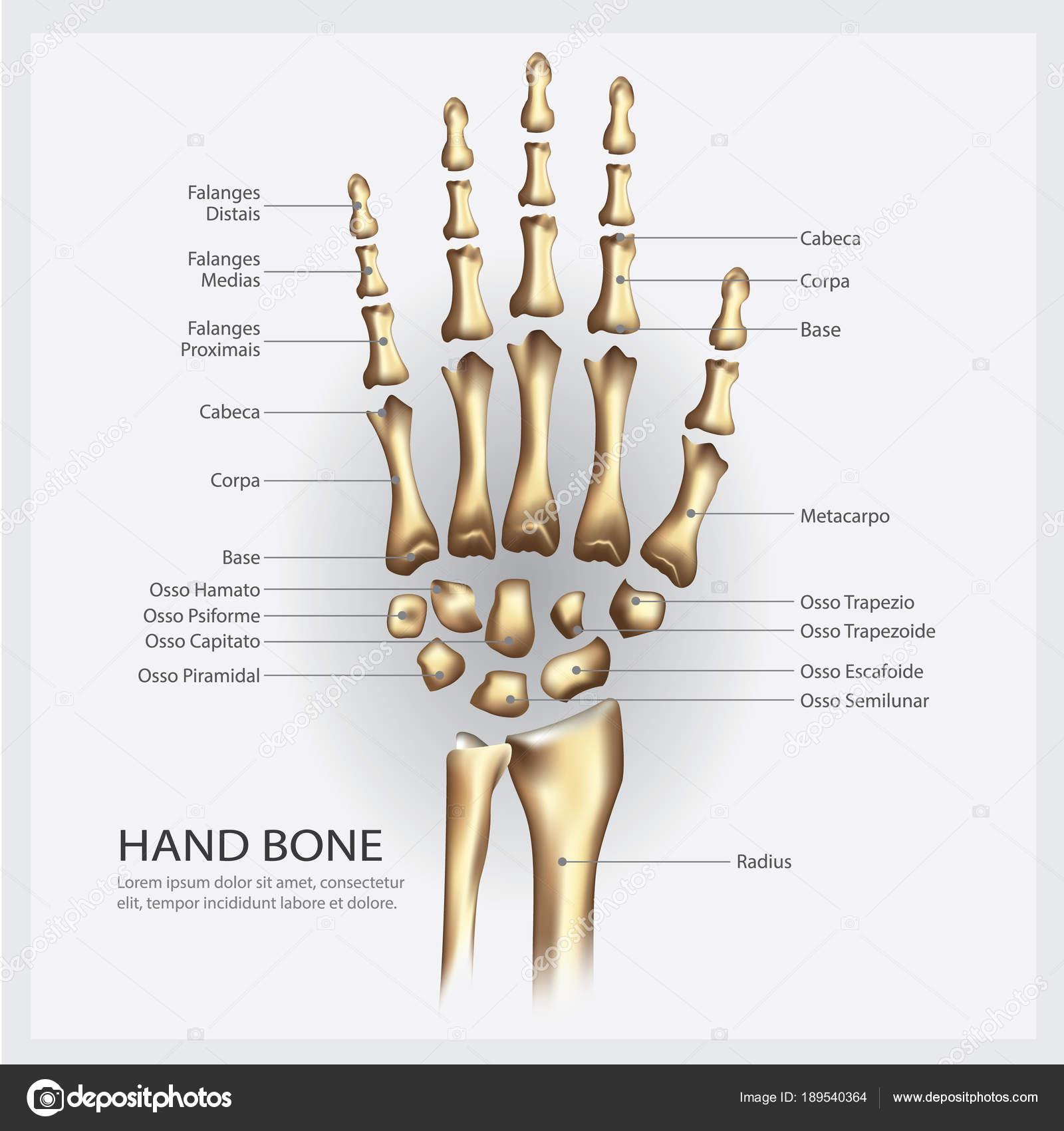 Hand Bot Anatomie Met Detail Vectorillustratie — Stockvector ...