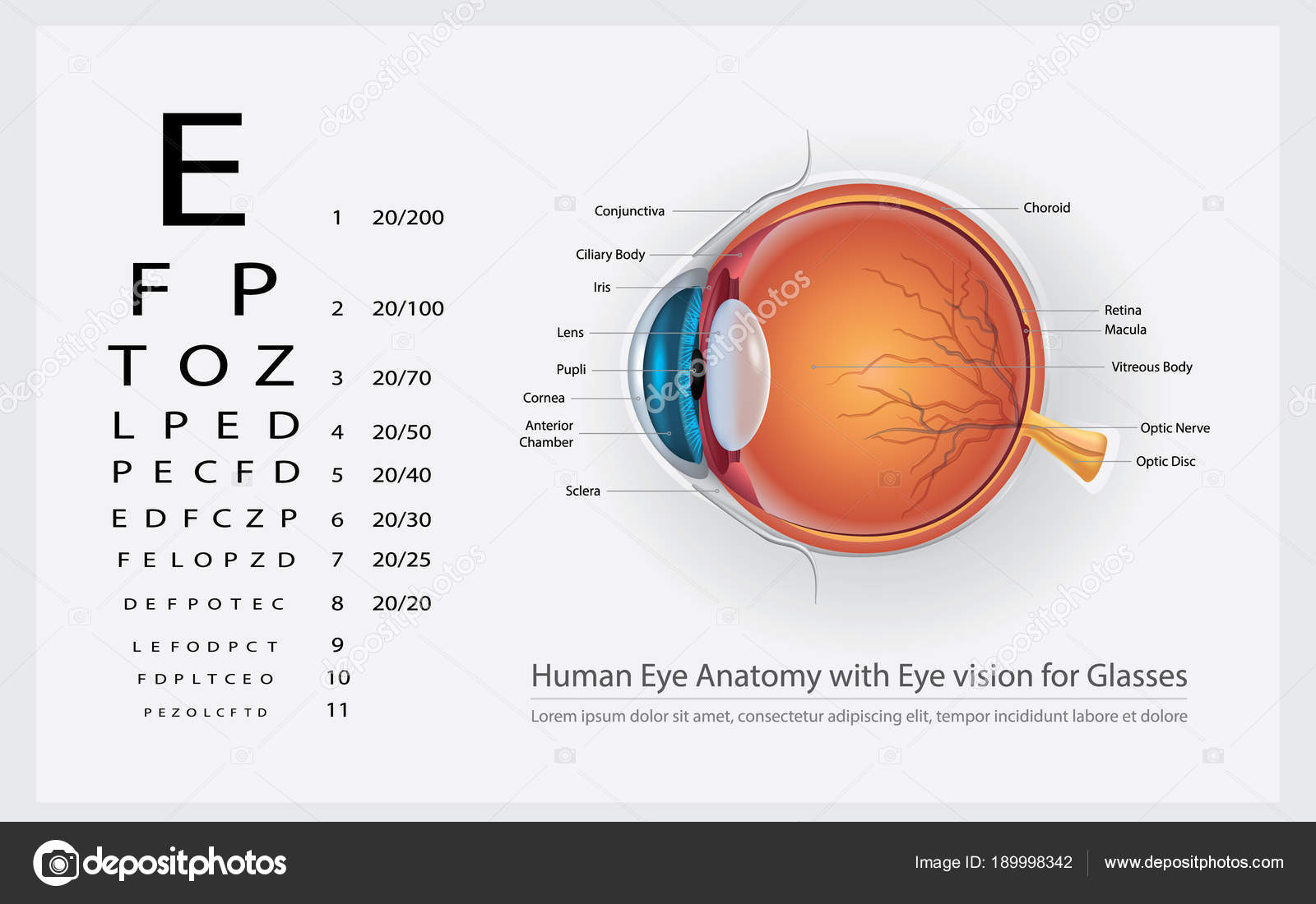 Anatomía Del Ojo Humano Con Visión Ojo Gafas Vector Ilustración ...