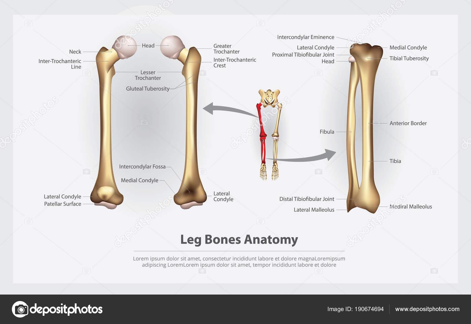 Anatomía Pierna Huesos Con Detalle Vector Ilustración — Vector de ...