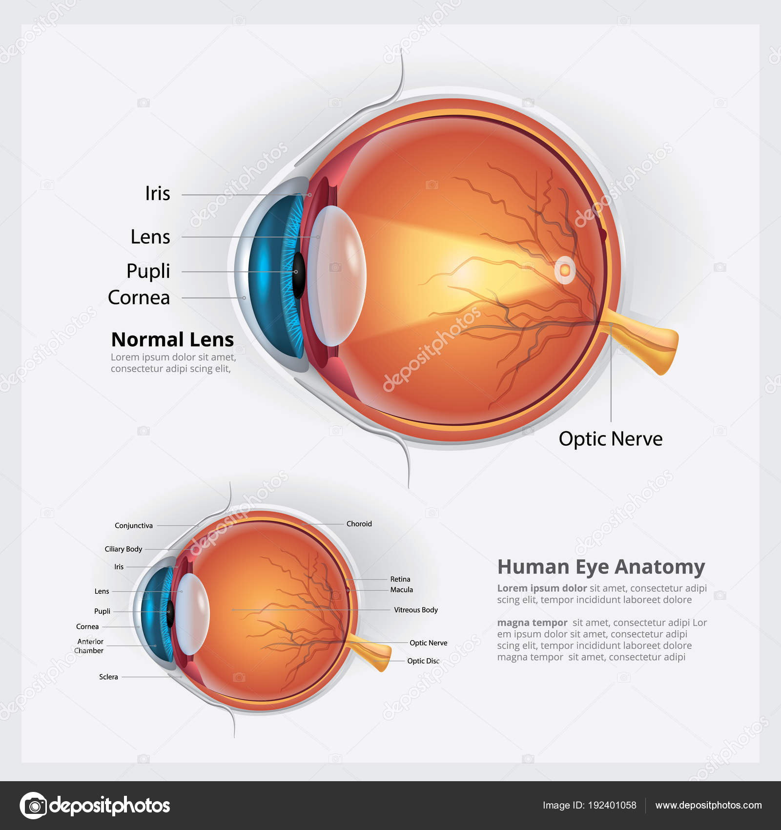 Human Eye Anatomy Normal Lens Vector Illustration — Stock Vector ...