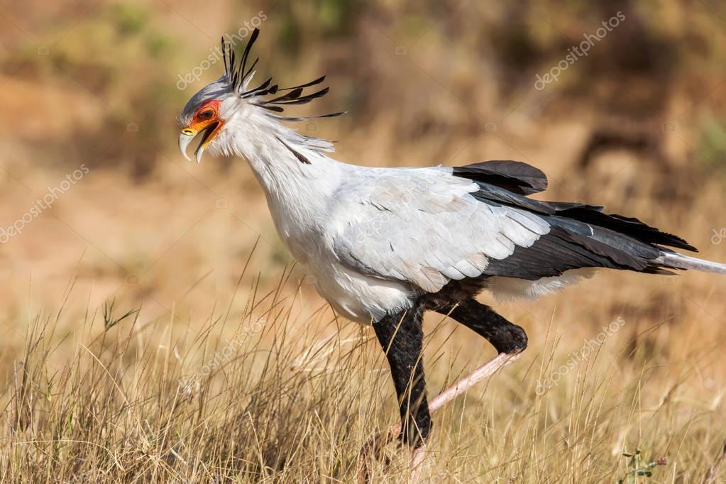 Secretary bird Sagittarius Serpentarius close up, Africa