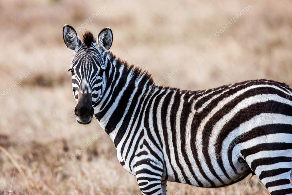 Close portrait of the zebra curiously looking at camera, Africa.