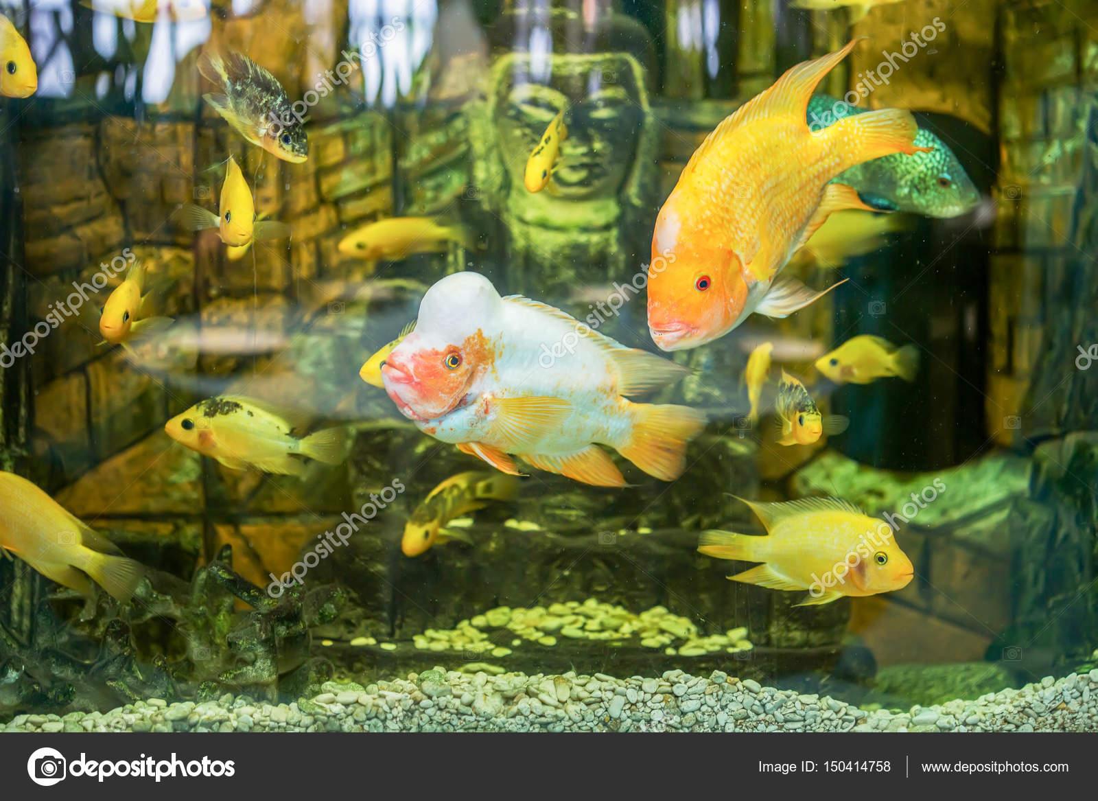 Aquarium Fish Cichlids Stock Photo C Sichkarenko Com 150414758