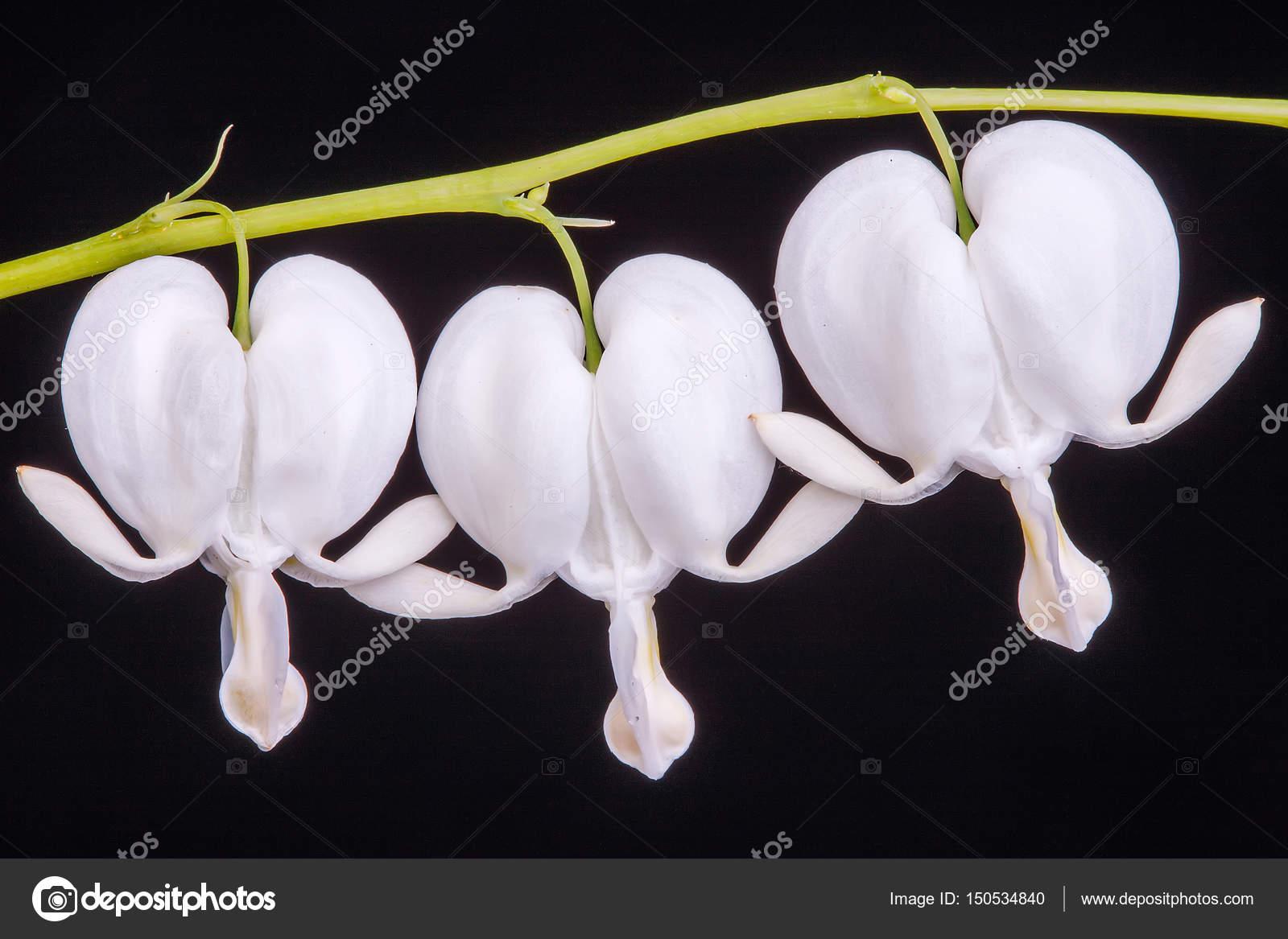 White Bleeding Heart Flower Against Black Background Stock Photo