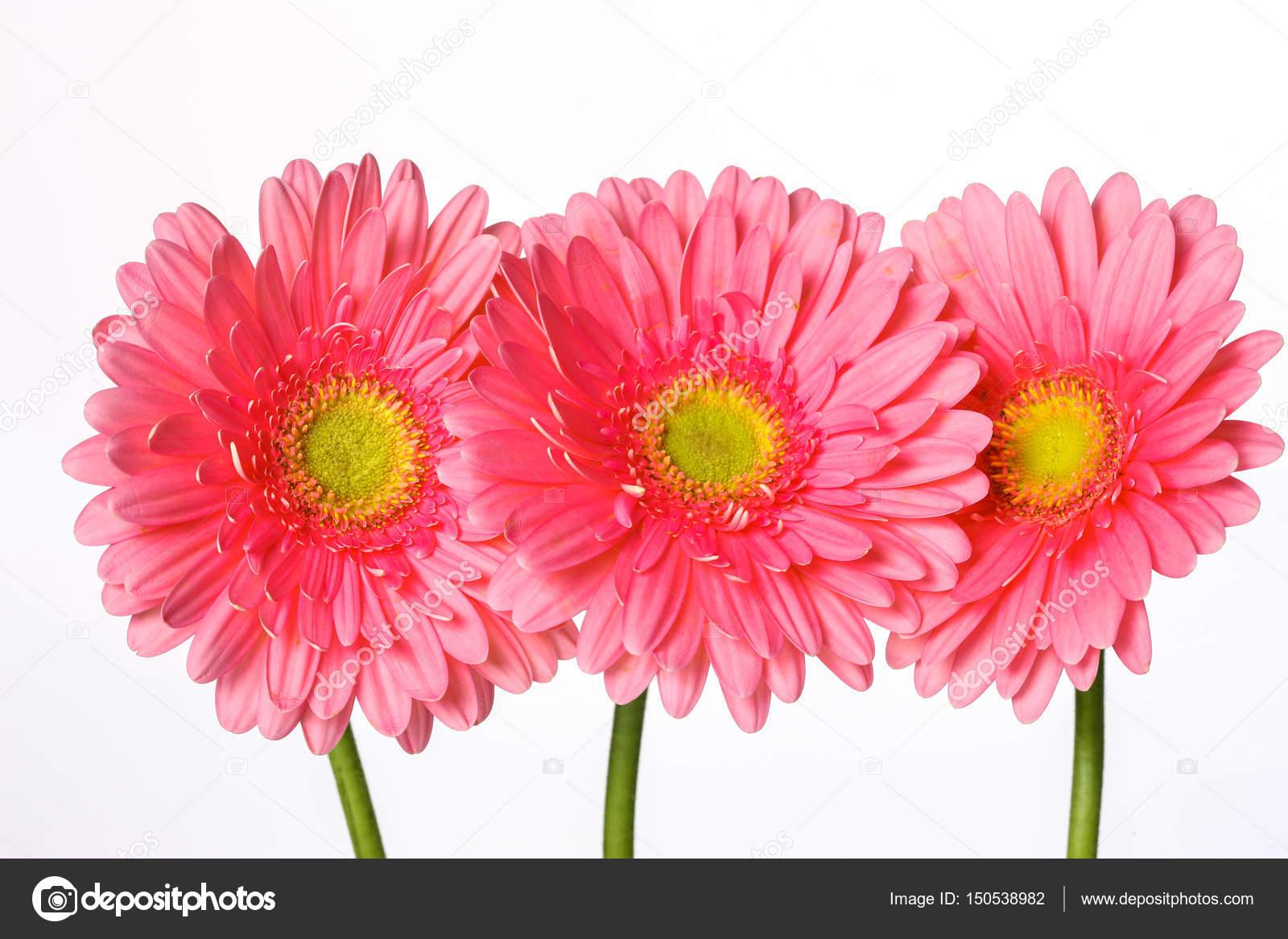 Beautiful Pink Gerbera Flowers Isolated On White Stock Photo